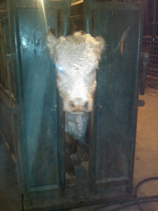 """cow in calving chute"""